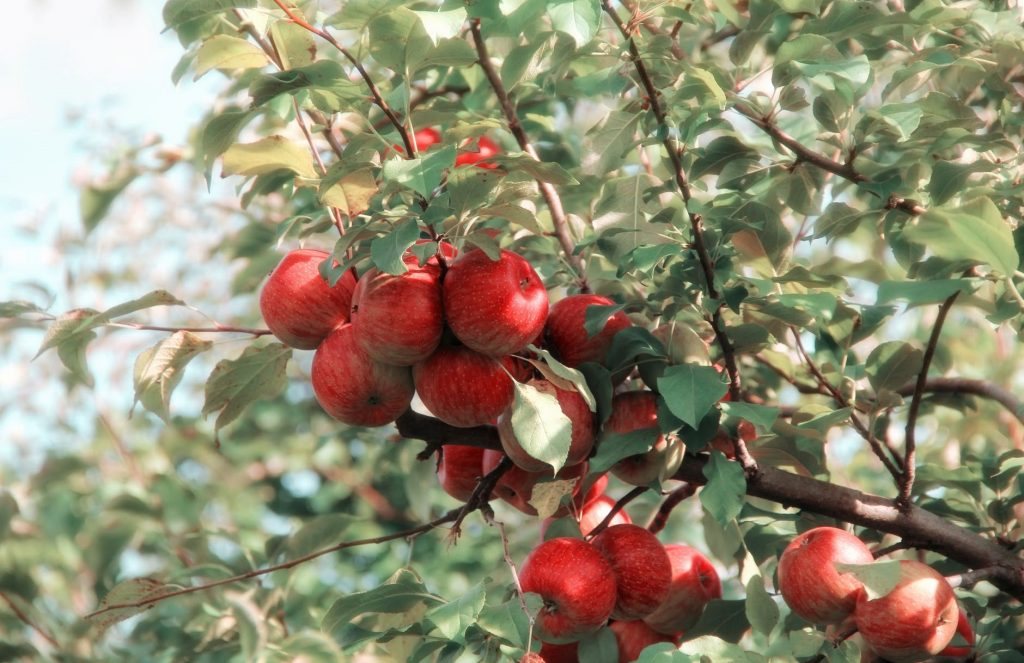 apples on a tree at Warwick Applefest
